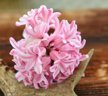 hyacinth-753779_640