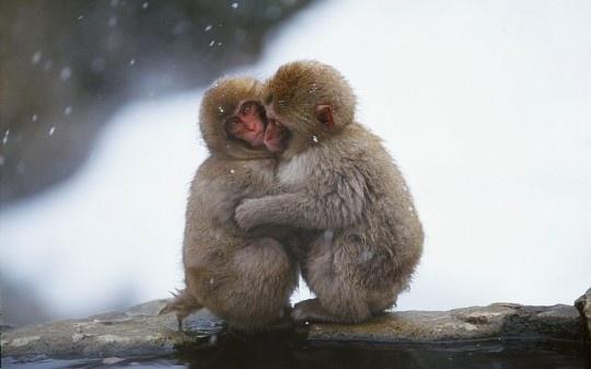 Maimutica va imbratiseaza