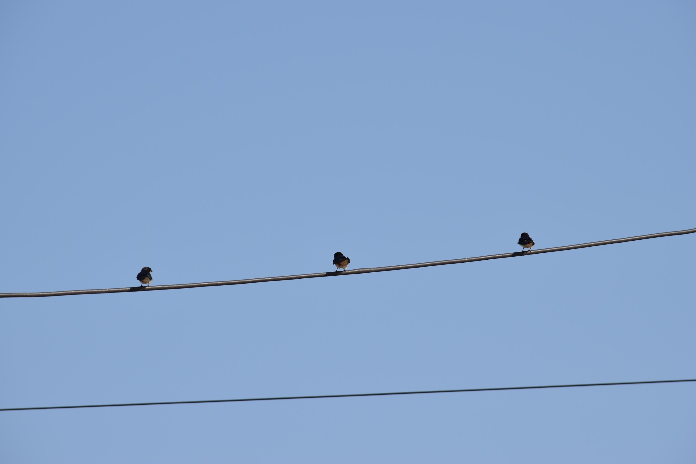Sulina- păsări