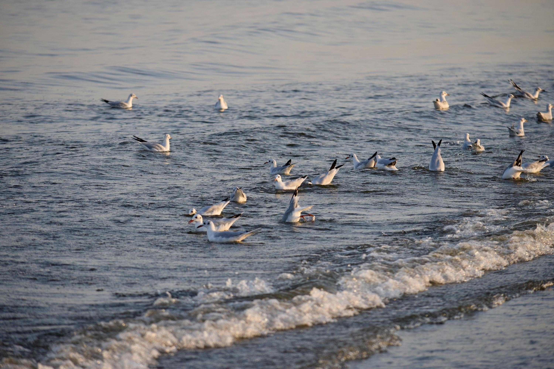 Mare - Pescarusi in valuri