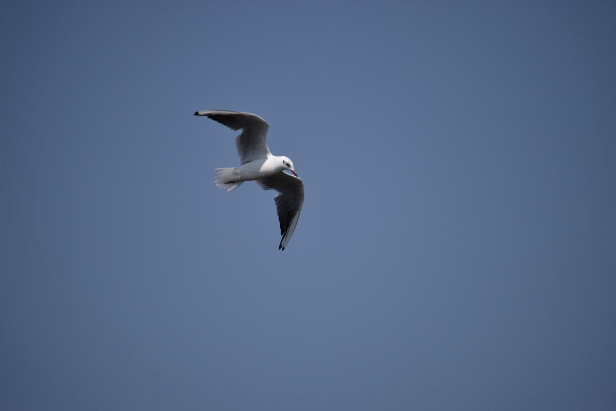 Dunăre - Pescăruș în zbor