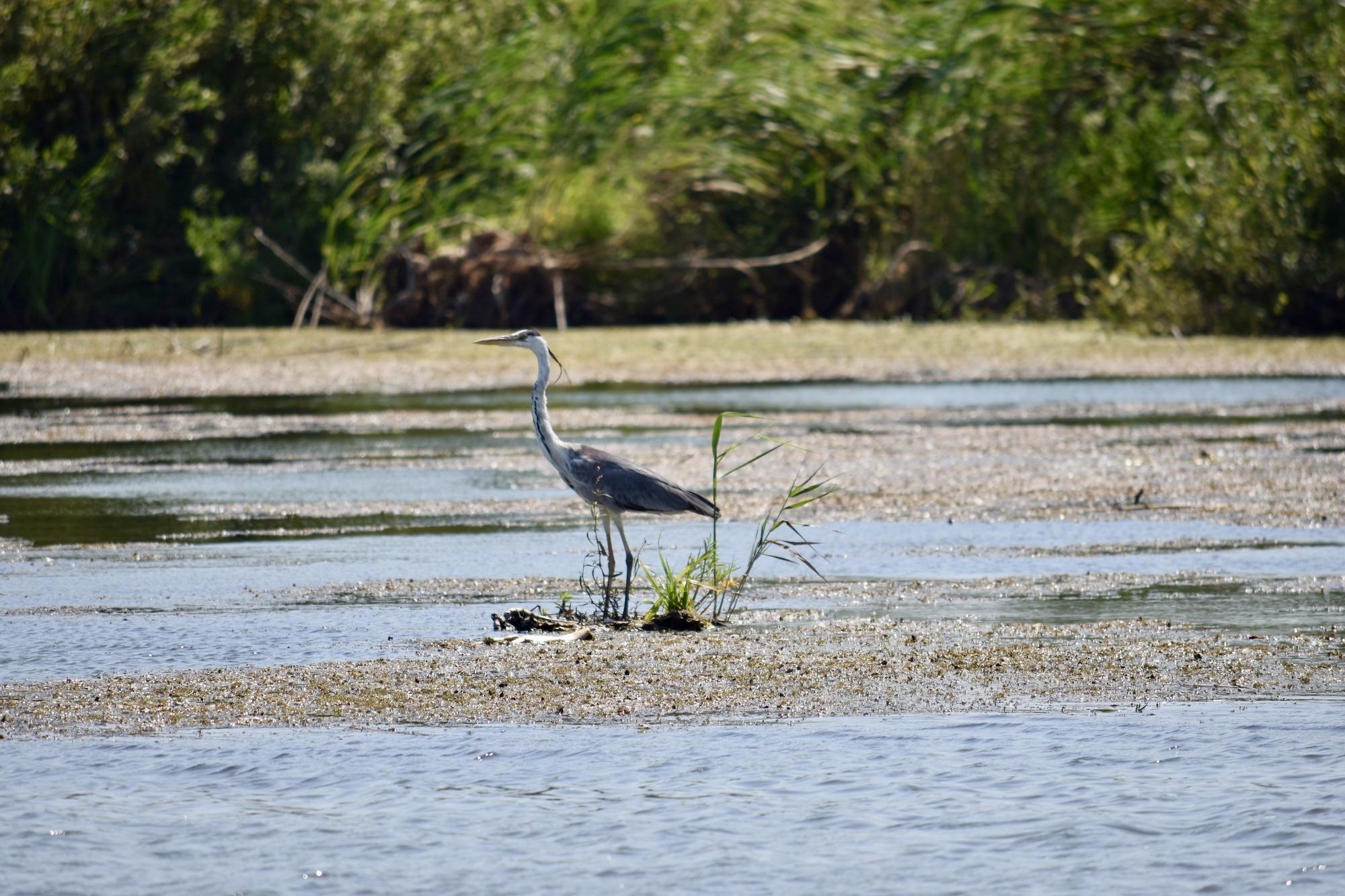 Dunăre - Egretă